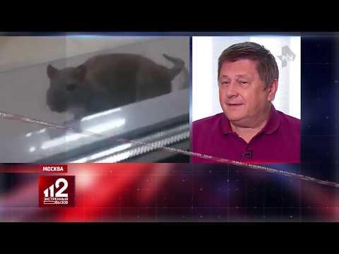 Вопрос: В каком случае крыса может прыгнуть на человека?
