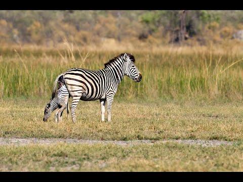 Zebra birth & Wild Dog interaction