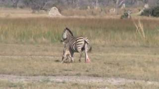 Zebra birth & Wild Dog interaction