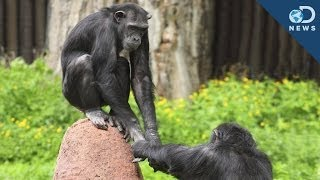 We Finally Know Why Chimpanzees Cooperate With Each Other!