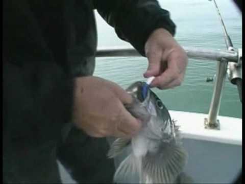 Bottom Fishing On The SLAMMER Hawg Quest