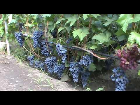 Виноград Антрацит (Чарли) - ранний и стабильный (Grape breeding Pavlovsky Anthracite)