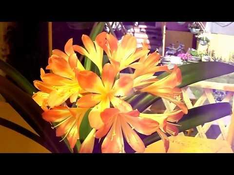 Расцвёл цветок удивительной красоты!!!