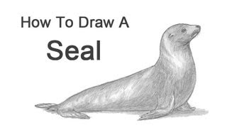 How to Draw a Seal (Sea Lion)