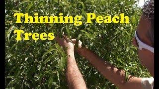 Thinning Peach Trees