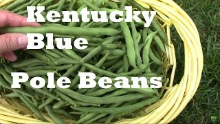 Kentucky Blue Pole Beans From Planting to Harvest.
