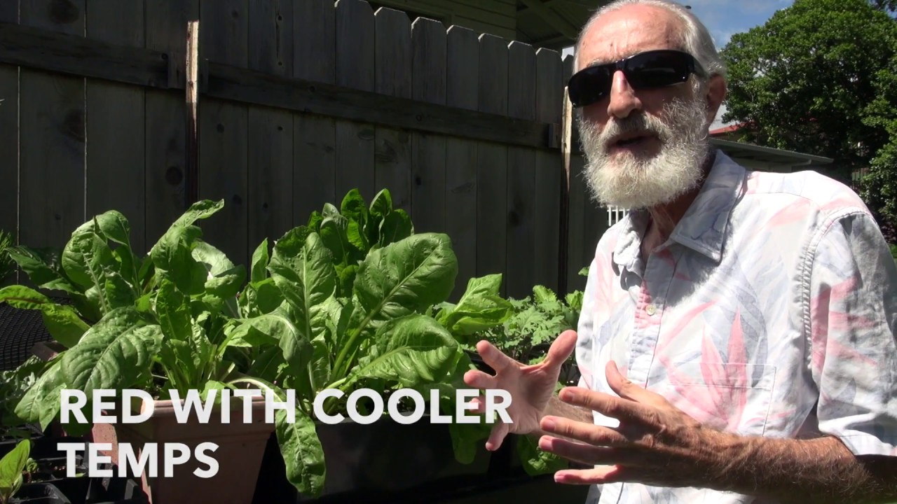 The Garden Greens and Radicchio Update YouTube