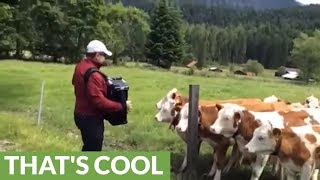 Excited cows rush over to listen to accordion player