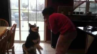 Our Pet Siberian Husky With Good Behavior And Talking