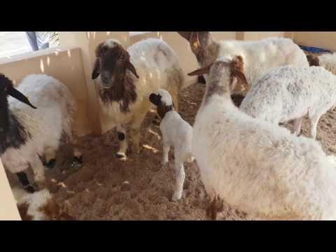 Halal festival | Qatar | Goats | Katara