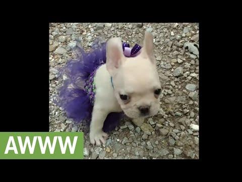 French Bulldog puppy sports her new tutu