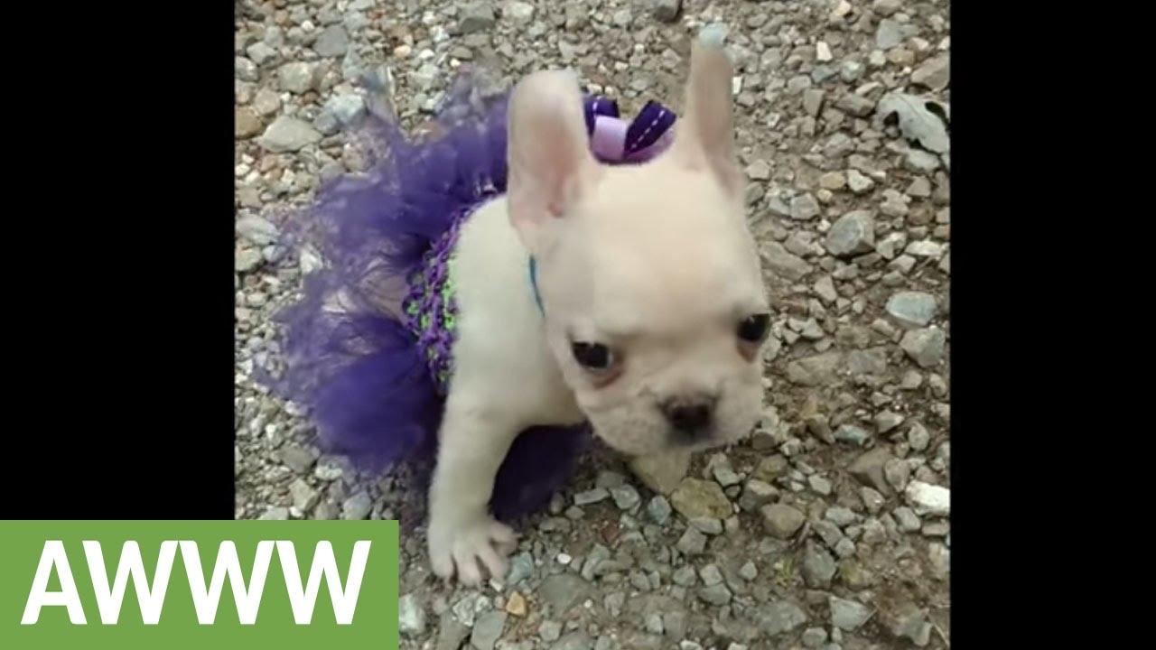 French Bulldog puppy sports her new tutu - YouTube
