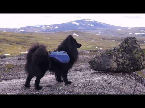 Vilde, en svensk lapphund på vandring i Bunnerfjällen, Jämtland