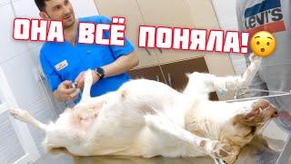Стерилизация собаки от А до Я
