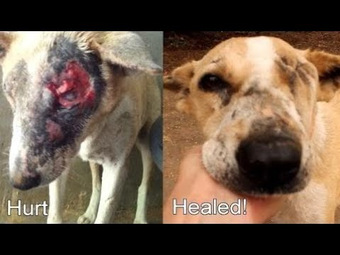 Injured rescue dog Isobel makes fast recovery at Animal Aid Unlimited, India - Animals Resc  Ep 130