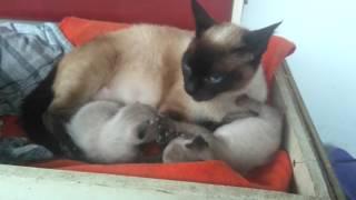 наши Кошки и котята породы Сиамская - Our cats and kittens breed Siamese