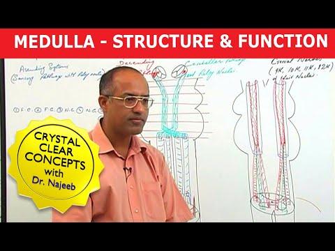 Medulla Oblangata - Structure & Function - Neuroanatomy