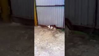 Кот под валерьянкой! разгон в стену!