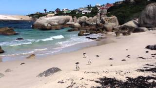 African Penguins at Boulders Beach, Cape Town, South Africa