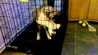 Siberian Husky Pup Crate Training