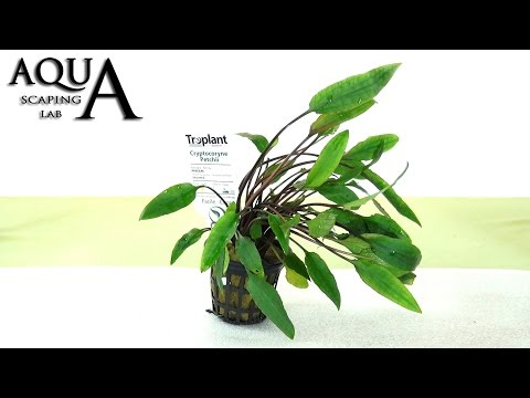 Aquascaping Lab - CRYPTOCORYNE Aquatic Plant technical description and management (all varieties)
