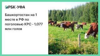 Башкортостан на 1 месте в РФ по поголовью КРС - 1,077 млн голов