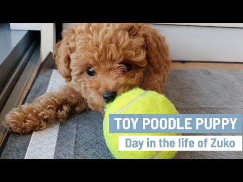 TOY POODLE PUPPY   Cute Toy Poodles   Mini Poodle Puppy   Day in the life of Zuko