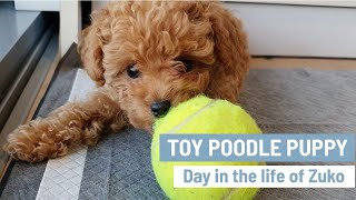 TOY POODLE PUPPY | Cute Toy Poodles | Mini Poodle Puppy | Day in the life of Zuko