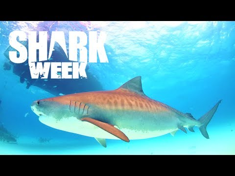 5 Amazing Facts About Tiger Sharks Shark Week Youtube