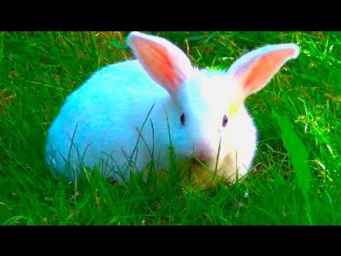 Blue eyes white bunny rabbit - YouTube