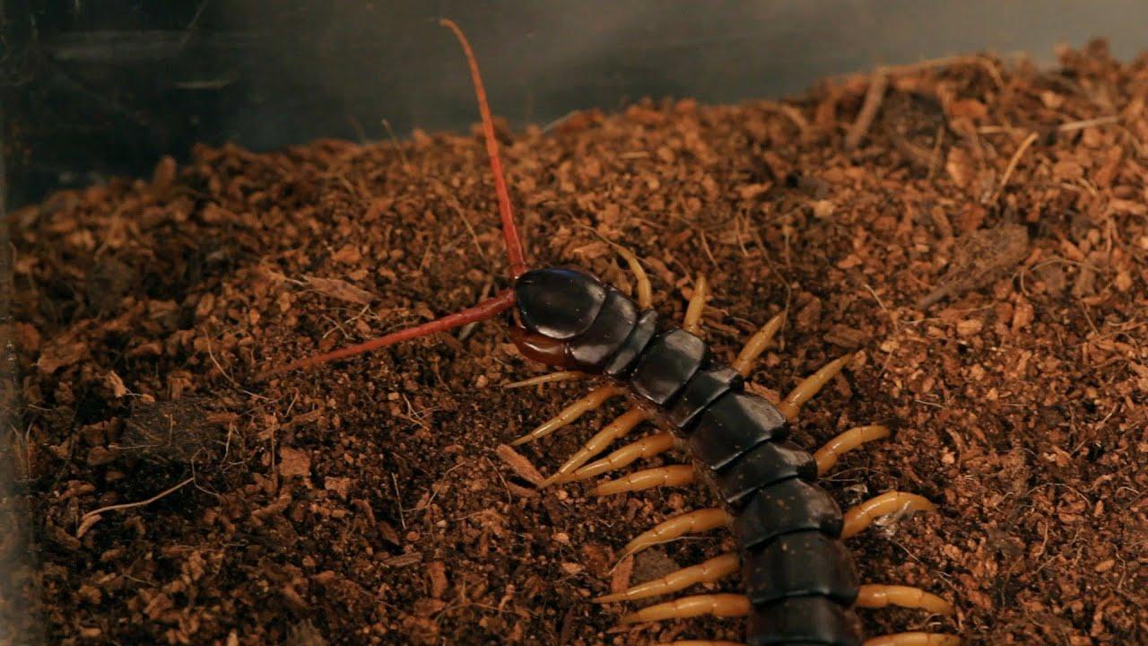 5 Vietnamese Centipede Facts & Care Tips | Pet Tarantulas