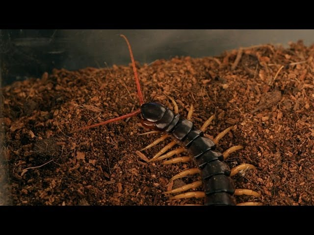 5 Cool Facts & Care Tips for Vietnamese Centipedes - Howcast