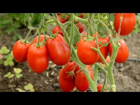 Лучшие сорта томатов сезона 2016 года. Критерий оценки - урожайность.