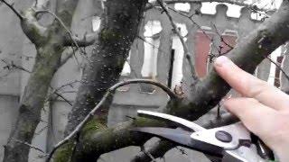 Абрикос обрезка. Pruning apricot(Абрикос очень легко переносит обрезку., 2016-03-23T19:17:35.000Z)