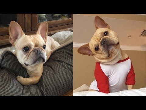Funny and Cute French Bulldog Puppies Compilation #3 - Cutest French Bulldog