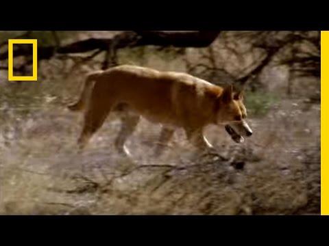 Kangaroo vs Dingo