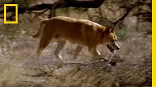 Kangaroo vs Dingo | National Geographic YouTube Videos