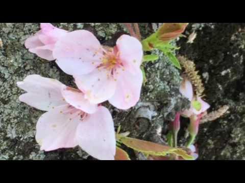 2017年春.4月13日桜の頃