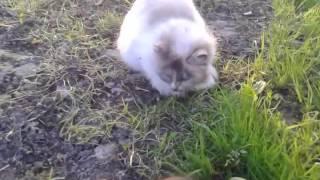 Деревенская кошка -крысоловка