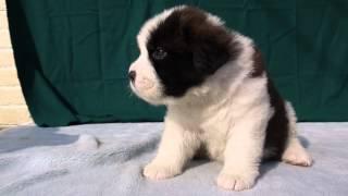 セントバーナードの子犬販売情報のURLは、http://www.dog-lien.com/i...