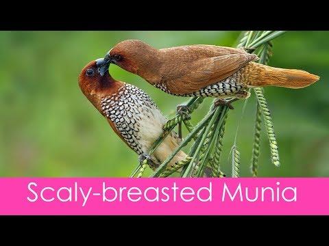 Extreme  closeup - scaly breasted munia bird .