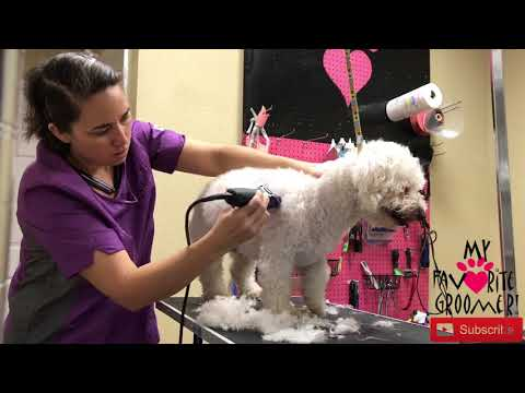 How to Groom a Bichon Frise   Best Dog Grooming Tips