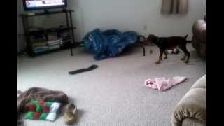 Funny Doberman Pinscher Puppy Dog Plays W/sock & Toys