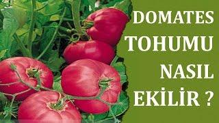 Domates Tohumu Nasıl Ekilir , Canım Anne
