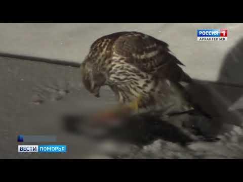 Необычное зрелище — в центре Архангельска горожане увидели ястреба, поедающего ворону