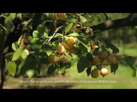 Au coeur des vergers de Mirabelle / Inside mirabelle plums' orchards