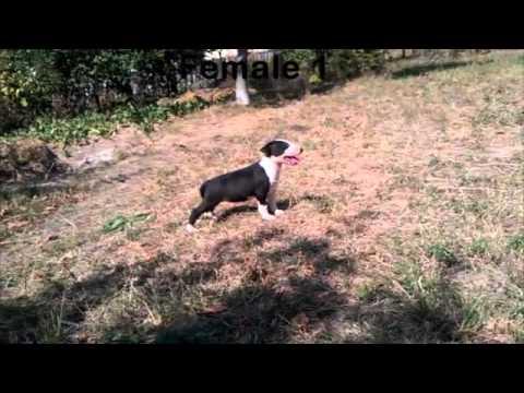 Pui Bull Terrier De Vanzare - Bull Terrier Puppies For Sale
