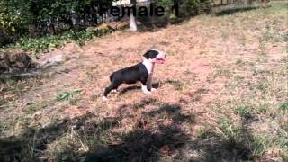 Pui Bull Terrier De Vanzare - Bull Terrier Puppies For Sale