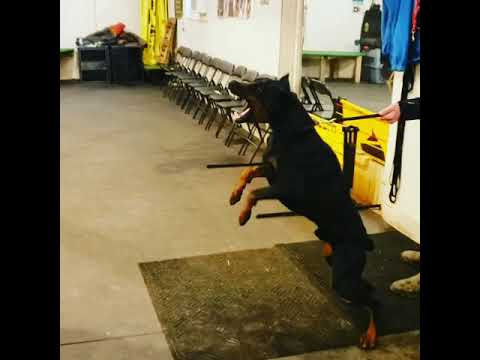 Aggressive Doberman Attacks - Making real aggression in protection