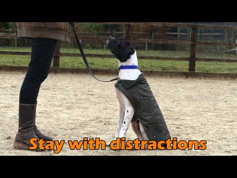 Dexter – English Pointer – 3 Week Residential Dog Training at Adolescent Dogs